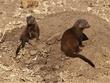 dwarf mongoose hiding.jpg
