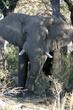 elephant rubbing his back on a  tree.jpg