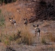 following wild dogs on a hunt.jpg