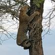 leopard cub climbing tree.jpg