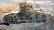 leopard mother and cub.jpg