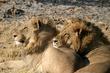lion brothers resting.jpg