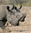 male and female rhinos.jpg