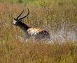 red lechwe fleeing hunters.jpg