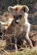 very young hyena pup.jpg