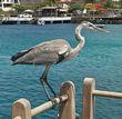Blue heron in San Cristobal.jpg