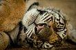 ThailandTigers_201305020469.jpg