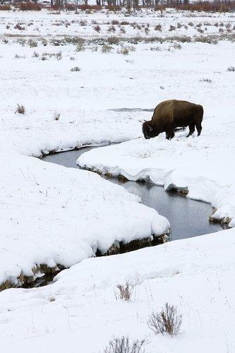 ©TC-Bison in Snow-D00064-00002.jpg