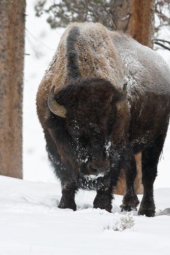 ©TC-Bison in Snow-D00064-00008.jpg