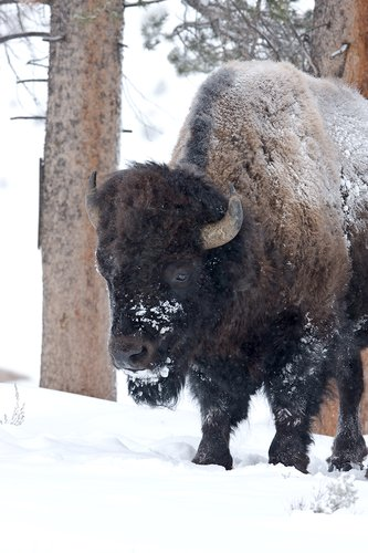 ©TC-Bison in Snow-D00064-00015.jpg