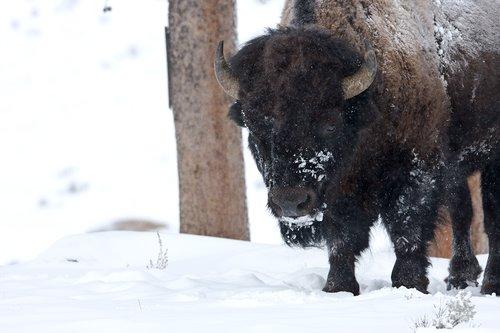 ©TC-Bison in Snow-D00064-00018.jpg