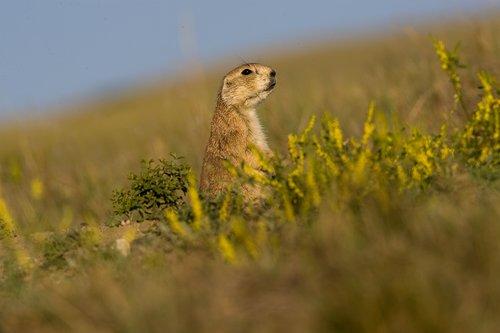 ©TC-Blacktailed Prairie Dog-D00755-00009.jpg