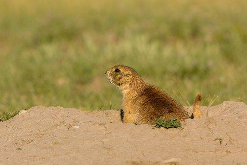 ©TC-Blacktailed Prairie Dog-D00755-00017.jpg