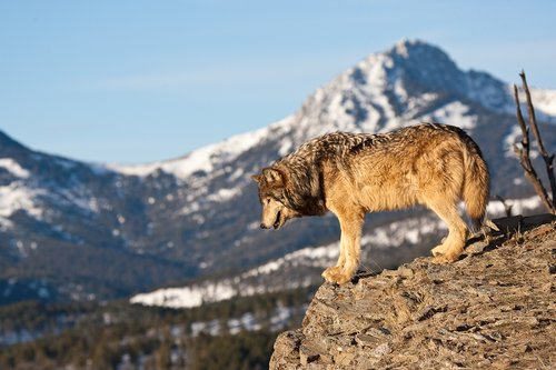 ©TC-Gray Wolf-D01105-00006.jpg