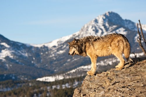©TC-Gray Wolf-D01105-00009.jpg