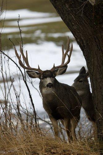 ©TC-Mule Deer Buck-Snow-D00190-00021.jpg