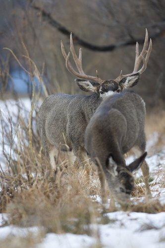 ©TC-Mule Deer Buck-Snow-D00190-00024.jpg