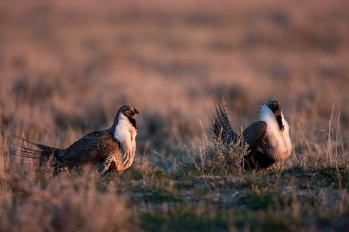 ©TC-Sage Grouse-D00432-00016.jpg