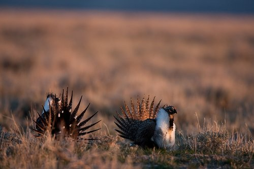 ©TC-Sage Grouse-D00432-00028.jpg