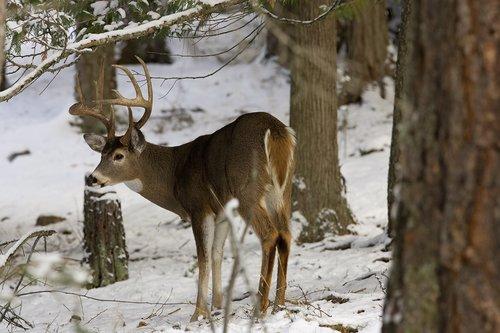 ©TC-Whitetail Bucks snow-D01088-00015.jpg