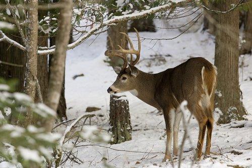©TC-Whitetail Bucks snow-D01088-00018.jpg