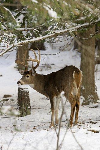 ©TC-Whitetail Bucks snow-D01088-00020.jpg