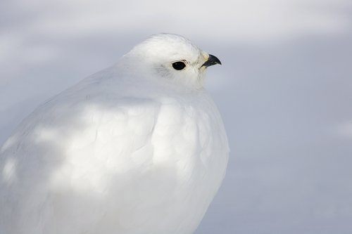 ©TC-Whitetail Ptarmigan (W)-D00765-00008.jpg