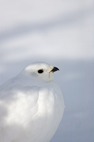 ©TC-Whitetail Ptarmigan (W)-D00765-00024.jpg