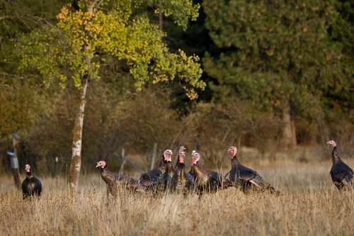 ©TC-Wild Turkeys Fall-D00983-00011.jpg