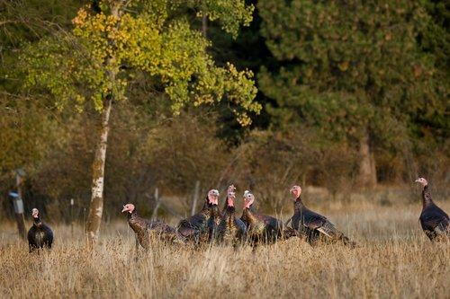 ©TC-Wild Turkeys Fall-D00983-00011.jpg