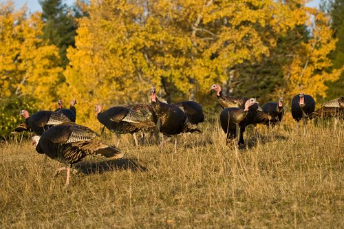 ©TC-Wild Turkeys Fall-D00983-00030.jpg