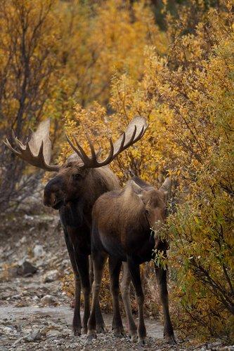 TC-Alaskan Moose-D00630-00005.jpg