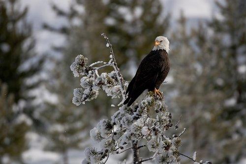 TC-Bald Eagle-D00026-00008.jpg
