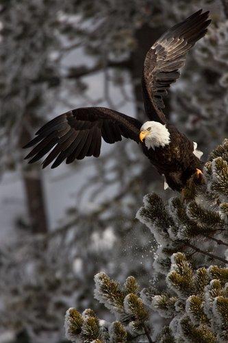 TC-Bald Eagle-D00026-00015.jpg