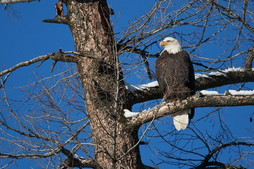 TC-Bald Eagle-D00026-00016.jpg
