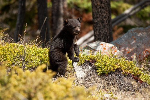 TC-Black Bear Cubs-D00049-00025.jpg