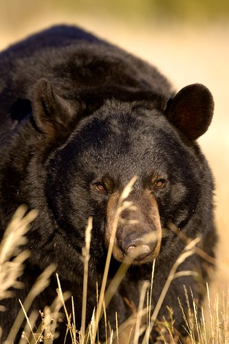 TC-Black Bear-D00048-00003.jpg