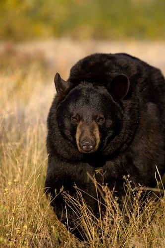 TC-Black Bear-D00048-00015.jpg