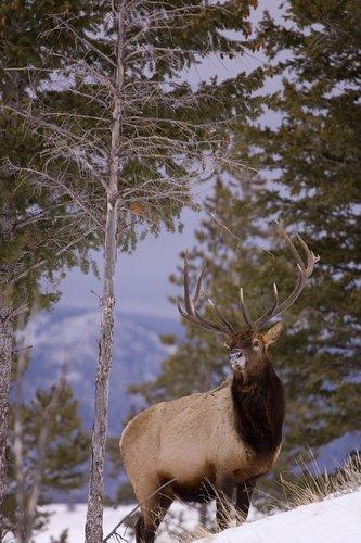 TC-Bull Elk in Snow-D00311-00007.jpg
