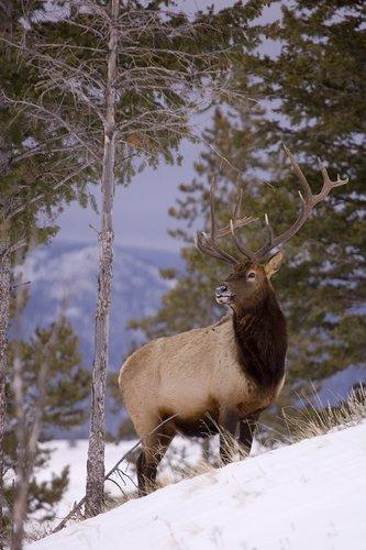 TC-Bull Elk in Snow-D00311-00012.jpg