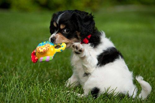 TC-Cavashon Puppy-D40120-00008.jpg
