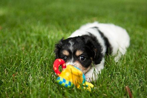 TC-Cavashon Puppy-D40120-00039.jpg