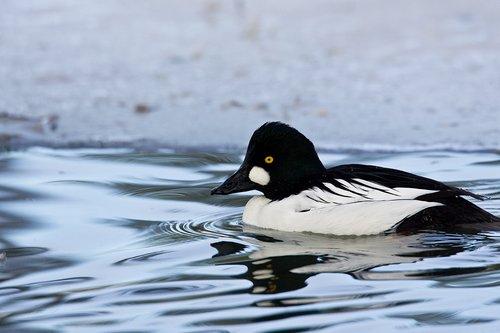 TC-Common Goldeneye Duck-D00865-00001.jpg