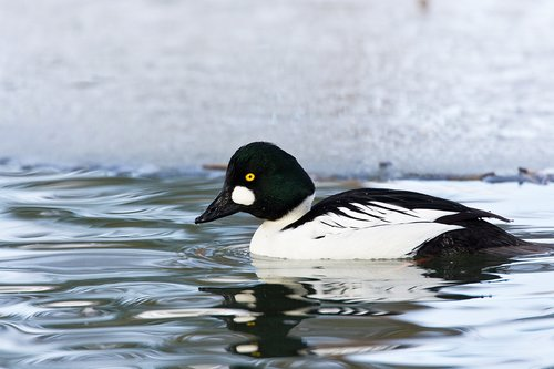 TC-Common Goldeneye Duck-D00865-00009.jpg