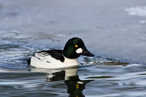 TC-Common Goldeneye Duck-D00865-00015.jpg