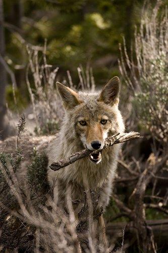 TC-Coyote-D00165-00002.jpg