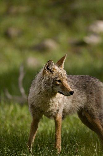 TC-Coyote-D00165-00006.jpg