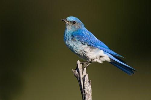 TC-Mountain Bluebird-D00070-00001.jpg