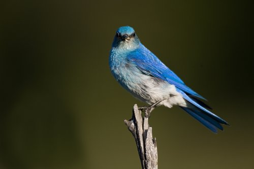 TC-Mountain Bluebird-D00070-00005.jpg