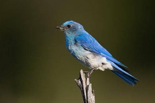 TC-Mountain Bluebird-D00070-00006.jpg